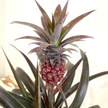 Load image into Gallery viewer, Pineapple Plant