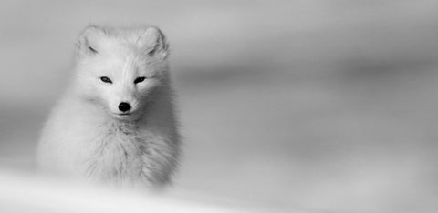 arctic fox initiative