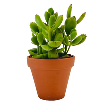 Load image into Gallery viewer, Bear's Paw Succulent
