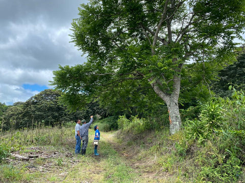 Walking the coffee farm tree