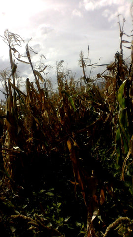 Stormy corn field