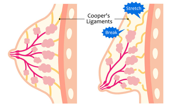 cooper's ligaments breast anatomy