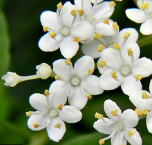 Load image into Gallery viewer, Elder flowers