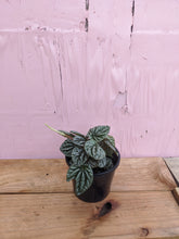 Load image into Gallery viewer, Peperomia Black ripple