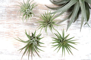 An Air Plant Holder Named After The Greek Goddess Selene