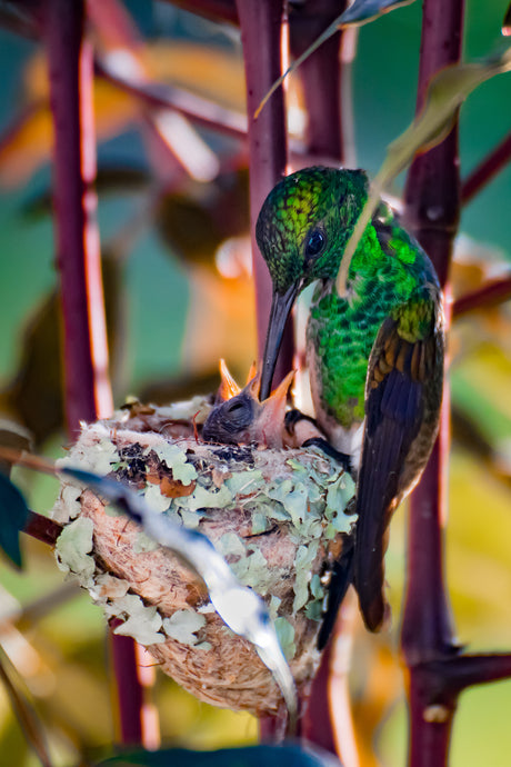 Hummingbird Mother with Babies