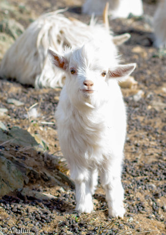 baby goat, cashmere goat, baby cashmere goat, Altalun