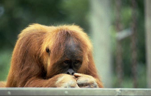 Extensive palm order production destroys the habitat for the orangutan in some parts of the world.