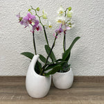 Load image into Gallery viewer, Elegance - Potted Flowering Orchid