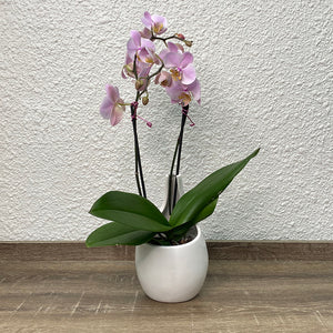 Elegance - Potted Flowering Orchid