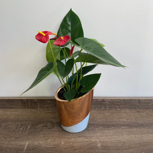 Our Choice - Potted Flowering Plant