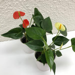 Load image into Gallery viewer, An Anthurium to delight