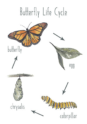 Butterfly Life Cycle - Educational Card - Learning by Playing Materials