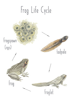 Frog Life Cycle - Educational Card - Learning by Playing Materials