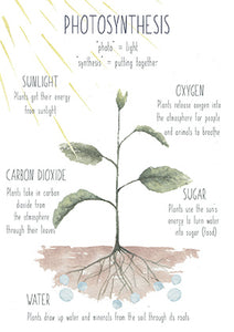 Photosynthesis - Educational Card - Learning by Playing Materials