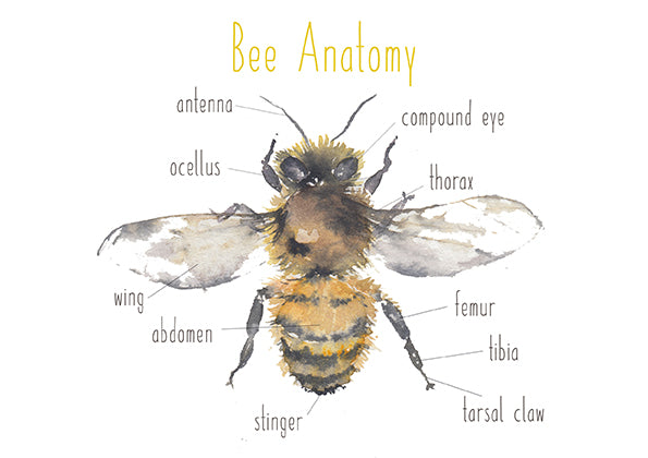 Bee Anatomy - Educational Card - Learning by Playing Materials