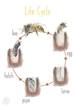 Load image into Gallery viewer, Bee Lifecycle - Educational Card - Learning by Playing Materials