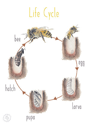 Bee Lifecycle - Educational Card - Learning by Playing Materials