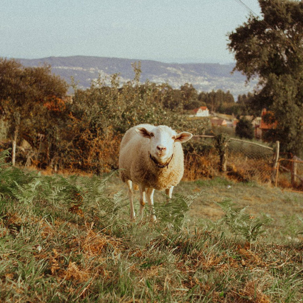 Curious Sheep // Photo by Avelino Calvar Martinez from Burst