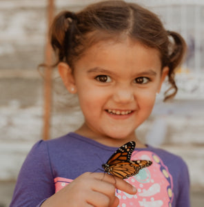 Adult Monarch Butterfly for Release (Single Butterfly)