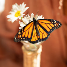 Load image into Gallery viewer, Adult Monarch Butterfly for Release (Single Butterfly)