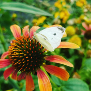 Home Release Kit - Cabbage White Butterflies