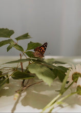Load image into Gallery viewer, Caterpillar Cup - For Painted Lady Butterflies (refill)