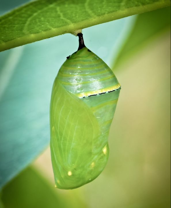 Monarch Chrysalis (Single Butterfly)