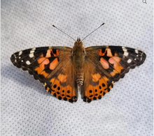 Load image into Gallery viewer, Caterpillar Cup - For Painted Lady Butterflies