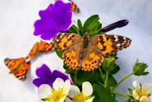 Load image into Gallery viewer, Adult Painted Lady Butterfly for Release (Single Butterfly)