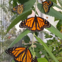 Load image into Gallery viewer, Adult Monarch Butterfly for Release (Limited Quantity)
