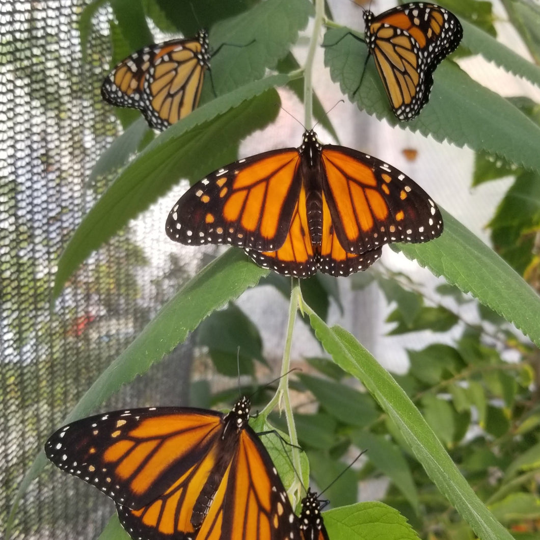 Adult Monarch Butterfly for Release (Limited Quantity)