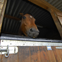 Horse biting stall