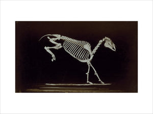 Skeleton of horse, contact with ground after leaping.