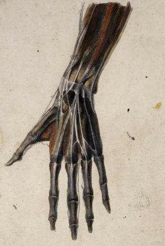 Anatomical drawing of the bones, muscles, tendons and major veins of the hand and wrist