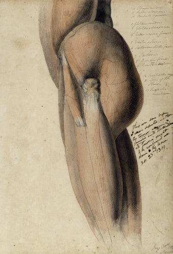 Anatomical drawing of the left side of the torso and upper leg
