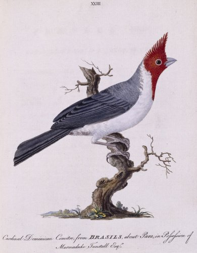 The Crested Cardinal', from 'New illustrations of zoology', London, 1776