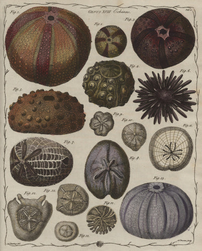 Echinus', Genus XVIII, The Genera verminum, London, 1783 (tab.11)