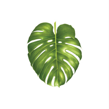 Philodendron Monstera - Tattly