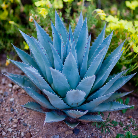 Blue agave for tequila