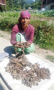 Rural woman drying Wild Organic Morel Mushroom