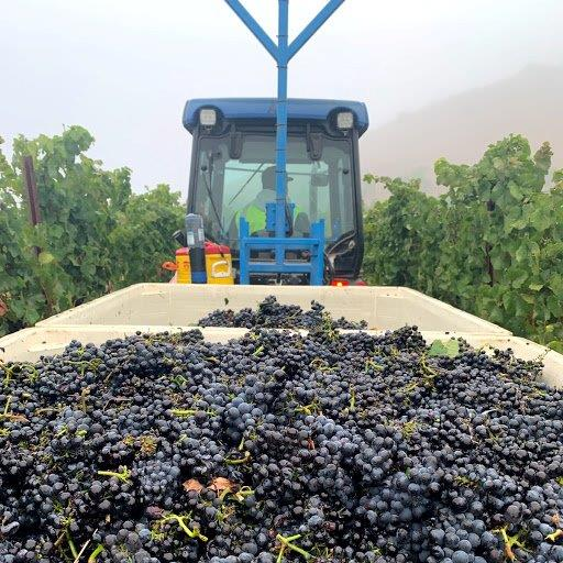 McEvoy-Ranch-Grape-Harvest