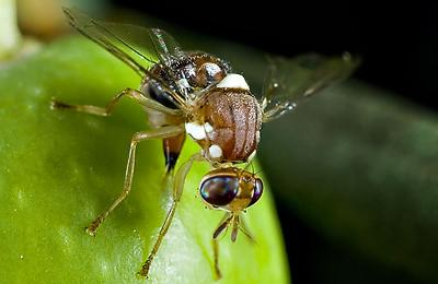 Olive Fruit Fly Defense
