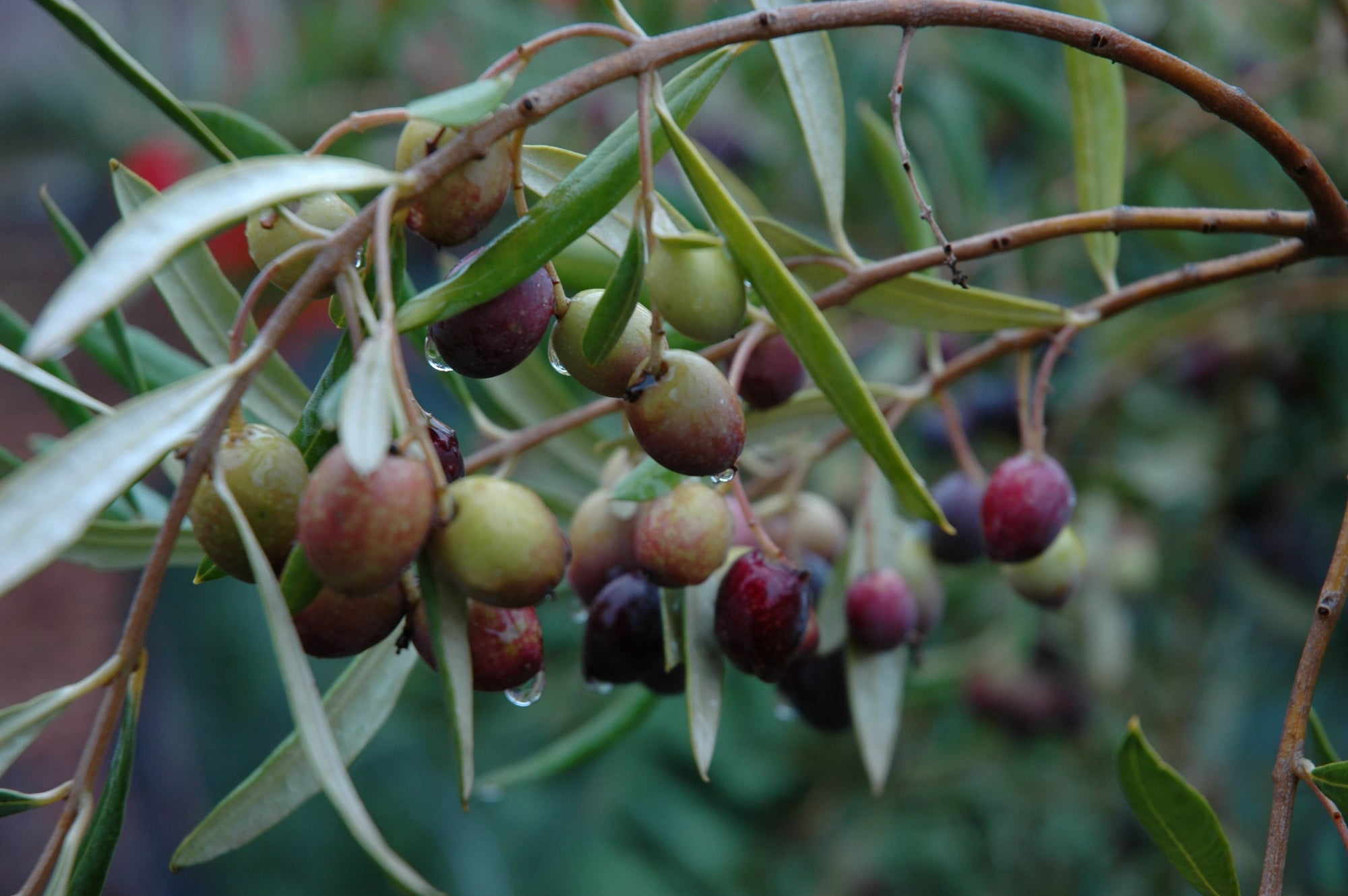 Olive Harvest nears and we can't wait!