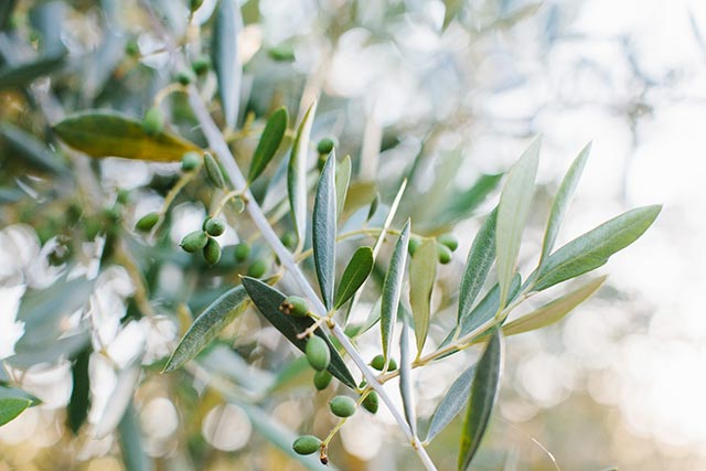 The 2017 Olive Harvest and Olio Nuovo