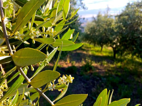 early morning in the olive orchards