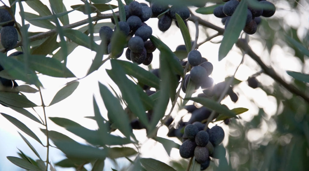 McEvoy Ranch Olive Harvest 2016