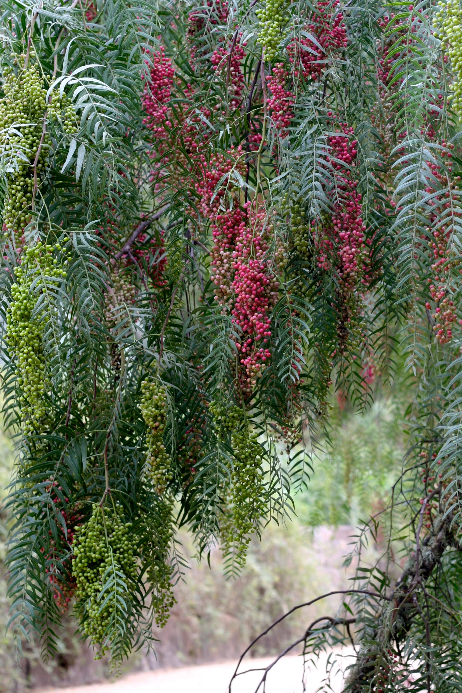 Pink Peppercorn at McEvoy Ranch