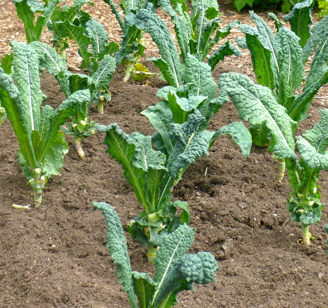 organic tuscan dino kale planted in rows.
