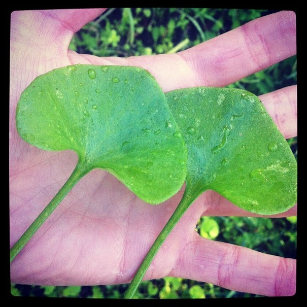 two spade shaped miners lettuce leaves placed in the palm of a hand